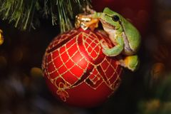 Europese groene boomkikker, Hyla-arborea vroeger Rana, arborea op een rood Kerstmisstuk speelgoed stock fotografie