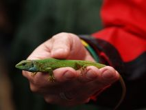 Europese groene die viridis van hagedislacerta in een hand, Hongarije wordt gevangen Stock Foto