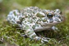 Europese groene die viridis van padbufo is species van pad in vasteland Europa wordt gevonden royalty-vrije stock foto's