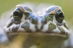 Europese groene die viridis van padbufo is species van pad in vasteland Europa wordt gevonden royalty-vrije stock afbeeldingen