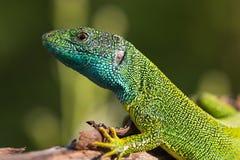 Europese groene hagedis Royalty-vrije Stock Fotografie