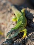 Europese groene hagedis/van Smaragdeidechse/Lacerta-viridis Royalty-vrije Stock Afbeelding