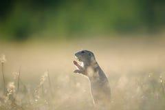 Europese grondeekhoorn die met open mond eten Royalty-vrije Stock Foto's