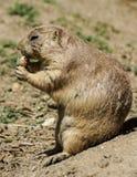 Europese grondeekhoorn (spermophiluscitellus, suslik, gopher) Stock Foto's