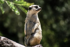 Europese grondeekhoorn (spermophiluscitellus, suslik, gopher) Royalty-vrije Stock Afbeeldingen