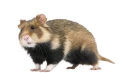 Europese Hamster tegen witte achtergrond Royalty-vrije Stock Fotografie