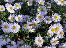 Europese honingbij op asterbloem Stock Foto's