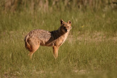 Europese jakhals, goudhoudende moreoticus van Canis Stock Foto
