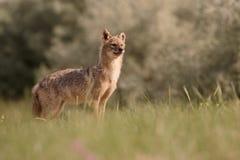 Europese jakhals, goudhoudende moreoticus van Canis Stock Afbeelding