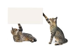 Europese kat Stock Fotografie
