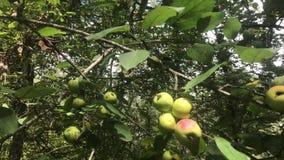 Europese Krab Apple, Malus Sylvestris stock video