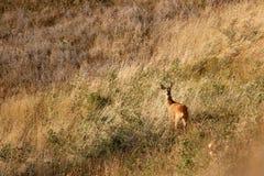 Europese kuit-herten in de zomer royalty-vrije stock afbeeldingen