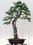 Europese Lariks als bonsai Stock Fotografie