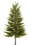 Europese lariksboom die op wit wordt geïsoleerd