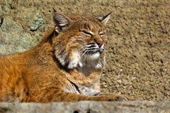 Europese lynx Royalty-vrije Stock Afbeelding