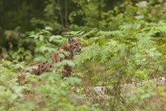 Europese Lynx Royalty-vrije Stock Foto