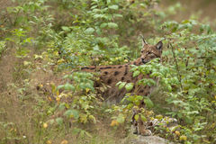 Europese Lynx Royalty-vrije Stock Afbeeldingen