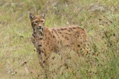 Europese Lynx Stock Afbeeldingen