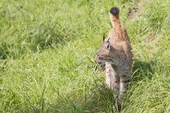Europese Lynx Royalty-vrije Stock Foto's