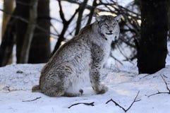 Europese Lynx (de lynx van de Lynx) Royalty-vrije Stock Afbeeldingen