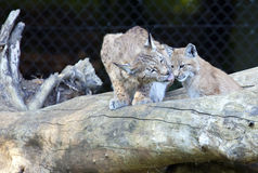 Europese Lynx met welp Royalty-vrije Stock Foto