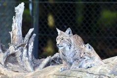 Europese Lynx met welp Royalty-vrije Stock Foto's