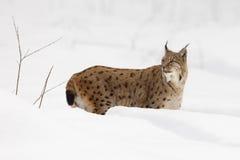 Europese Lynx in sneeuw Stock Foto's