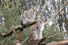 Europese Lynx twee Royalty-vrije Stock Foto