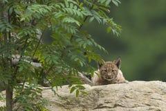 Europese Lynxwelp Royalty-vrije Stock Foto