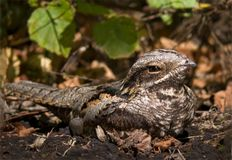 Europese nightjar zit op de grond met bladeren stock afbeeldingen