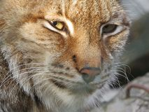 Europese onbetrouwbare lynx, catamount gezicht met ogen het staren royalty-vrije stock foto's