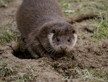 Europese Otter Stock Afbeelding