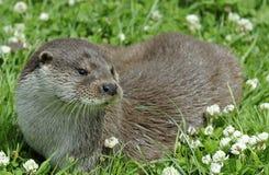 Europese Otter Royalty-vrije Stock Foto's