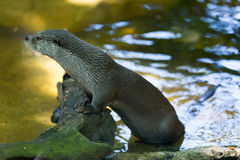Europese otter Royalty-vrije Stock Afbeelding