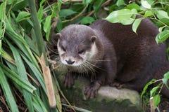 Europese otter in de struiken Stock Foto's