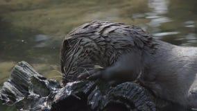 Europese otter die met een vismeel wordt gebeëindigd stock videobeelden