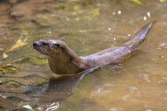 Europese otter die uit van water voorbereidingen treffen te krijgen royalty-vrije stock foto