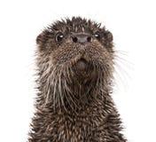 Europese otter, Lutra-geïsoleerde lutra, stock afbeelding