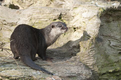 Europese Otter (lutra Lutra) royalty-vrije stock afbeelding