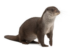 Europese Otter, Lutra lutra, 6 jaar oud Royalty-vrije Stock Afbeeldingen