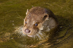 Europese Otter (lutra Lutra) Stock Foto's