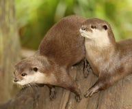 Europese Otters royalty-vrije stock afbeeldingen