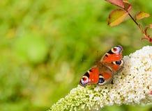 Europese pauwvlinder Royalty-vrije Stock Fotografie