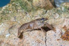 Europese rivierkreeften, astacusastacus in de vijver royalty-vrije stock foto's