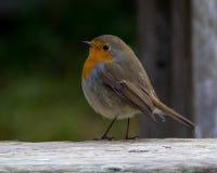 Europese Robin in de herfst Stock Afbeeldingen
