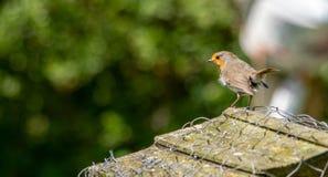 Europese Robin die zijn grondgebied bewaken Royalty-vrije Stock Afbeeldingen