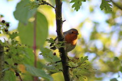 Europese Robin & x28; Erithacus rubecula& x29; Royalty-vrije Stock Foto