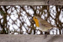 Europese Robin met een rode borst stock afbeeldingen