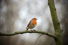 Europese Robin Redbreast dat op een tak neerstrijkt Royalty-vrije Stock Afbeeldingen