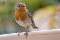 Europese Robin (rubecula Erithacus) Stock Foto